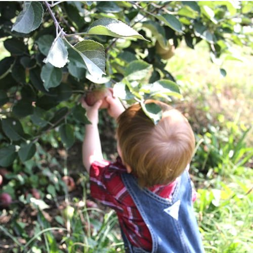 Tips and Tricks for Successful Apple Picking