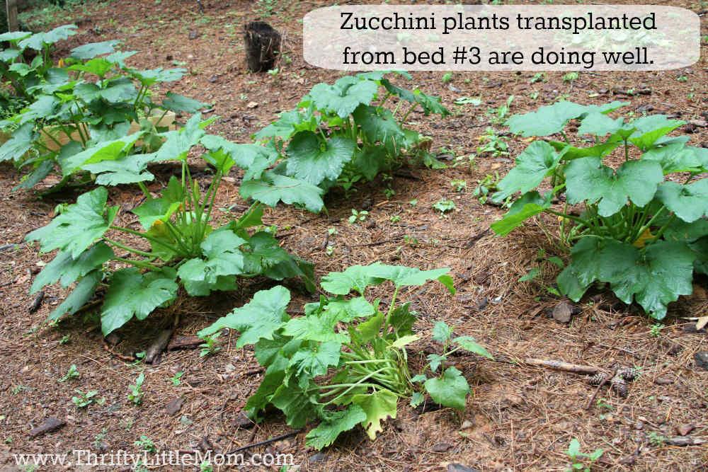 DIY Raised Garden Beds Zucchini