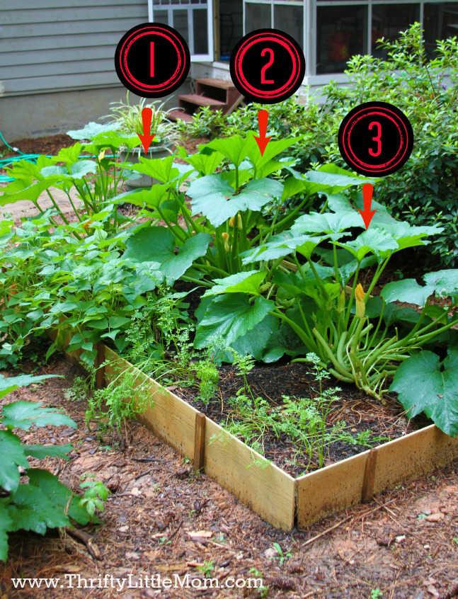 Zucchini Plants